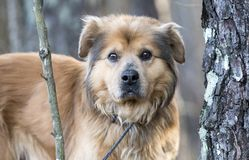 Older Collie Retriever mixed breed dog adoption photo stock photography