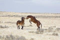 Older colts standoff Stock Image