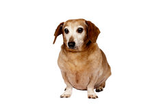 Older Dog. Here is a cute picture of an older dog or senior canine.  Isolated on white Royalty Free Stock Images