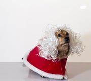 Older dog. A little older dog on red dress Stock Photography
