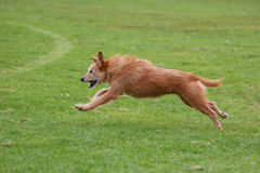 Older dog running. Senior terrier dog running across the field. Dog is eleven years old stock photography