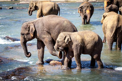 Older Elephant Kicking Young Elephant While Bathing in River Stock Photos