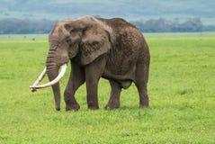 Older elephant Stock Images
