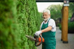 Older gardener trimming white cedar using patrol hedge. stock photos