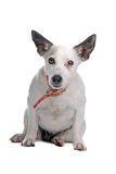 Older Jack Russell terrier Stock Photography