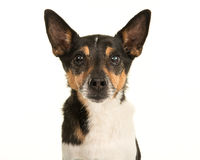 Older  jack russell terrier dog portrait Royalty Free Stock Photos