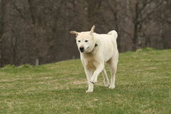 Older Lab Running. Older labrador running on grass Stock Images