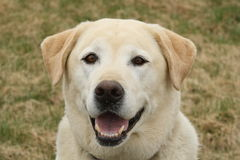 Older Lab Smiling Stock Photo