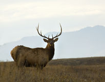 Older Male Elk Large Rack Montana Stock Photography