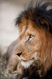 Older male lion Stock Photo