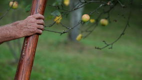 An older man clibing ladder and picking apples. HD1080p: Close up of an older man clibing ladder and picking apples stock video footage