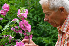 Older man gardening. Older man busy in the garden stock images