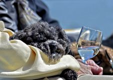 Older Person Holding a Dog and a Glass of Wine. Concept for relaxation, lifestyle,happiness,companionship,and getting older. A small dog asleep in the lap of it` royalty free stock photography