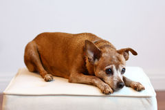 Older red min pin lying on cushion. Sweet older dog, a red miniature pinscher, is resting on an off-white ottoman cushion.  Dog's fur is greying Stock Photo