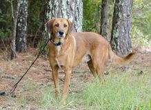 Older red Retriever mixed breed dog Royalty Free Stock Photos