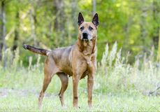 Older red Shepherd mix breed dog wagging tail, pet rescue adoption photo. Senior reddish brown Shepherd mixed breed dog on leash outdoors. Grey muzzle, erect Royalty Free Stock Photo