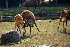 Older sitatunga fighting with young boy stock photography