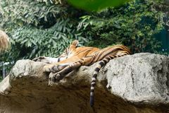 The older tiger is sleeping Stock Photos