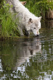 Older Wolf Drinking from River Stock Image