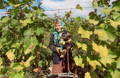 Older woman farmer in leaves of grapes cutting vine at vineyard on Stock Image