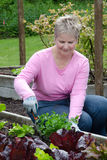Older woman gardening. An older woman planting celery in her raised garden bed Royalty Free Stock Photo