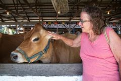 Older Woman Playing With a Show Cow. The cow is weaing a halter. The cow is in a stall in a barn. The woman is petting its ear. She wears glasses and a p;ink top stock photos
