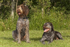 Older and younger hunting dogs Royalty Free Stock Photography