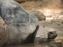 The oldest citizen of Jungle : Tortoise. Tortoise is very old and known as the senior citizen of the jungle Royalty Free Stock Image