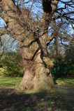 Oldest English Elm in Europe. Two English Elm tree's known as the Preston Twins are at Preston Village near Brighton, East Sussex, England. They are over 500 royalty free stock images