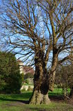 Oldest English Elm in Europe. Two English Elm tree's known as the Preston Twins are at Preston Village near Brighton, East Sussex, England. They are over 500 royalty free stock photo