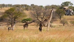Giraffe and baby giraffe, serengeti park, Tanzania stock image