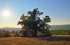 Oldest oak in Romania being estimated approximation to 900 years Royalty Free Stock Photography