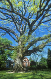 Oldest oak tree in United States, East Shore, Oxford, MD Stock Image