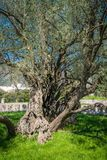 The oldest olive tree in Europe Royalty Free Stock Image