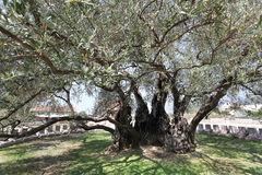 The oldest olive tree (Europe)called Stara Maslina Stock Photo