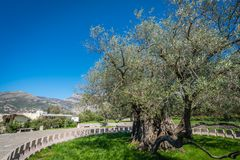 The oldest olive tree in Europe Stock Photo