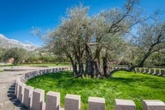 The oldest olive tree in Europe Stock Image