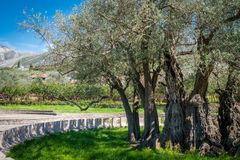 The oldest olive tree in Europe Royalty Free Stock Photo