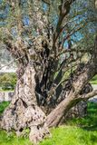 The oldest olive tree in Europe Royalty Free Stock Images