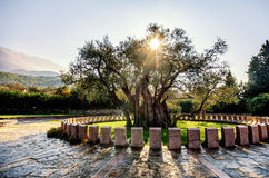 The oldest olive tree in the Old Bar, Montenegro Stock Photography