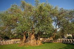 The Oldest Olive tree in the world. Between 2000 and 2500 years old, near Bar, Montenegro Stock Photos
