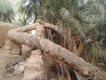 The oldest palm tree in the city of Ghadames Stock Photography