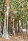 The oldest specimen of Ficus macrophylla giant tree in Italy. Stock Photos