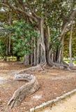 The oldest specimen of Ficus macrophylla giant tree in Italy. Stock Photo
