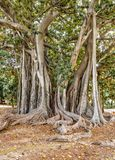 The oldest specimen of Ficus macrophylla giant tree in Italy. Royalty Free Stock Images