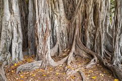 The oldest specimen of Ficus macrophylla giant tree in Italy. stock photos