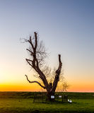 Oldest tree in Flevoland Stock Image