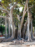 Oldest tree in Palermo city in Giardino Garibaldi Stock Image