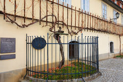 Oldest vine in the world in Maribor, Slovenia Royalty Free Stock Photo