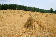 Old type dry cereal sheaf on a farm field during harvest season. Oldfashioned rustic, field scenery. Agriculture landscape with forgotten farm tradition Royalty Free Stock Image